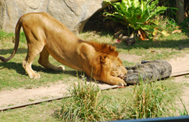 Lion - Khao Kheow Open Zoo
