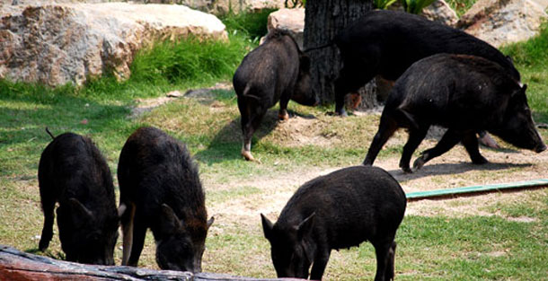 Wild Boars Facts