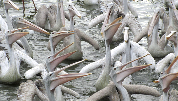 Spot-Billed_Pelican