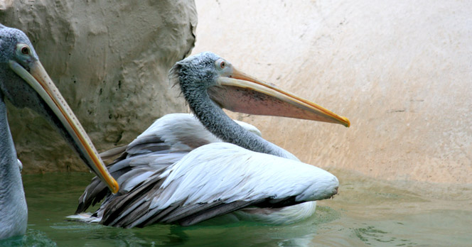 Spot-billed Pelican at Khao Kheow Zoo