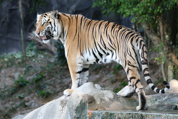 Indochinese Tigers