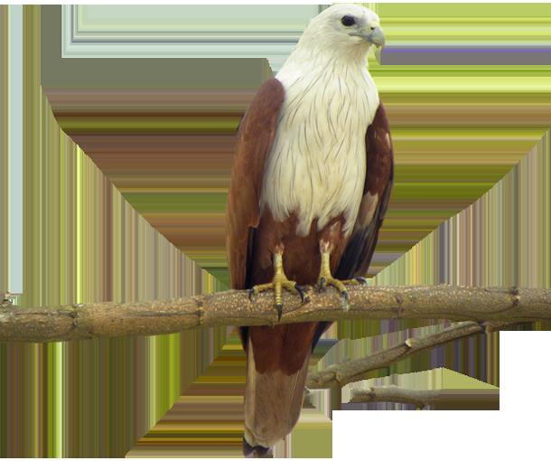 Eagle Bird Facts