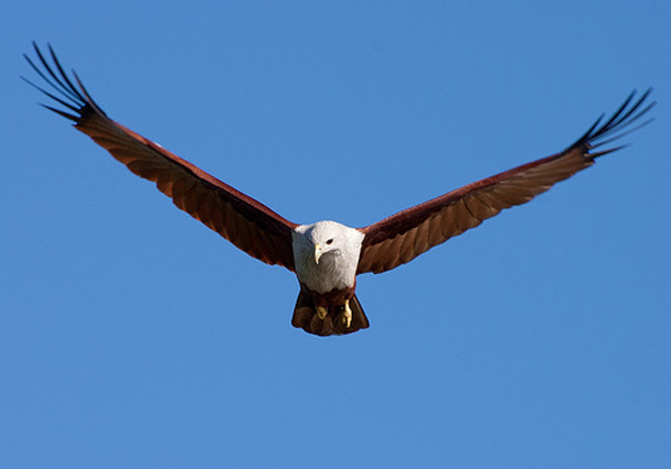 Brahminy Kite Facts
