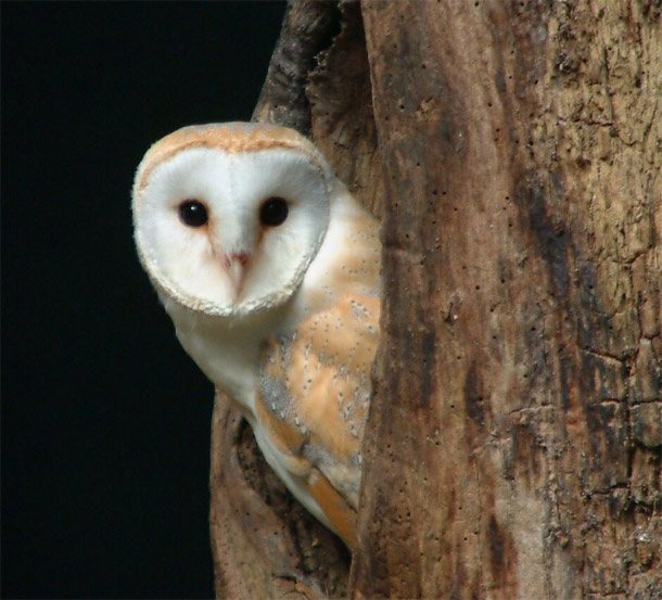 barn owl facts barn owl barn owls information