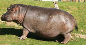 hippopotamus-the-mammoth-river-horse
