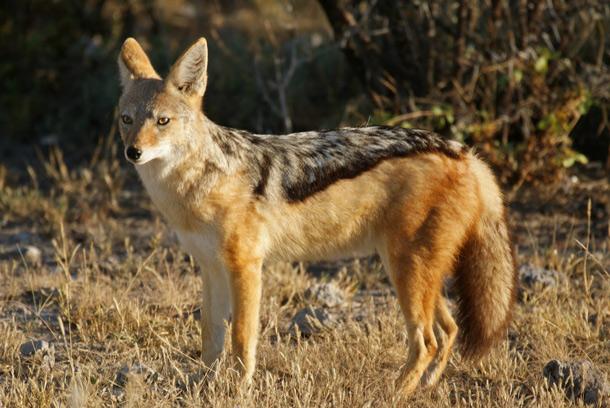 jackal Animal