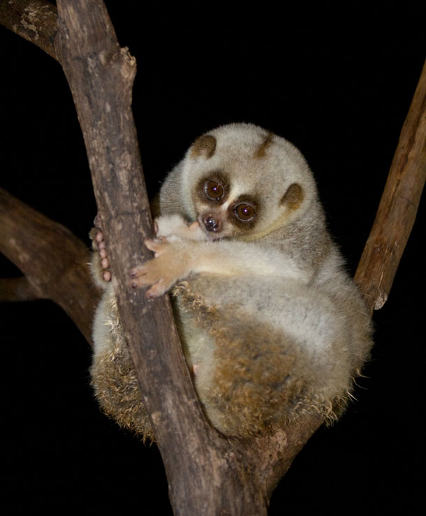 Slow Loris Facts