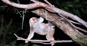 Slow Loris: Swinging Beauties