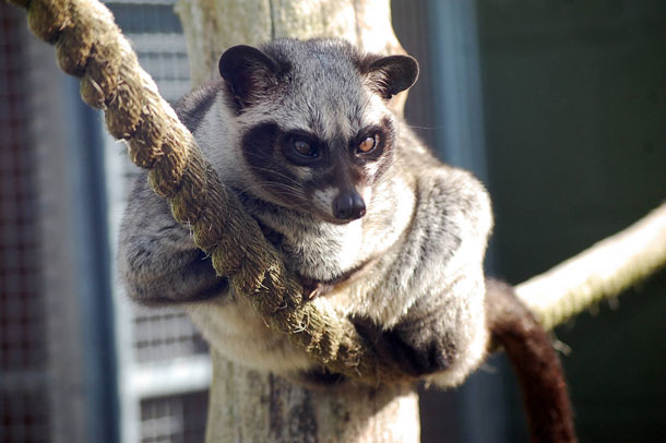 Common Palm Civet Facts