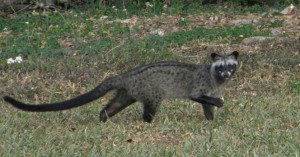common-palm-civet_the-cat-sized-mammal