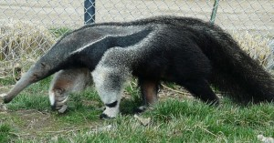 giant-anteater_the-grassland-beauty