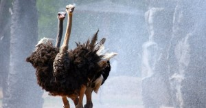 ostrich_the-mischievous-bird