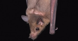 Lesser-great-leaf-nosed-bat
