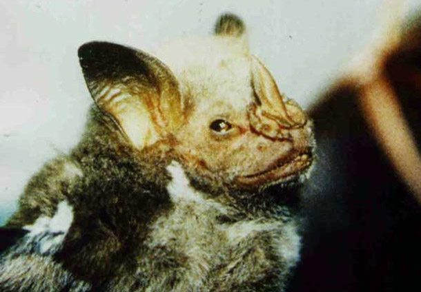 Lesser great leaf-nosed Bat