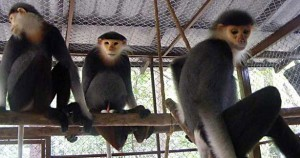 Red-shanked-douc-monkeys