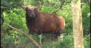 banteng-animal