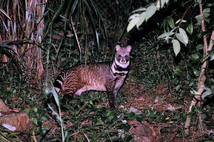 Civet Facts