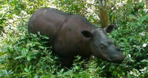 Sumatran Rhinoceros - Power Personified