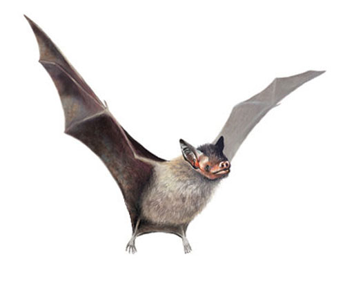 Hog Nosed Bat