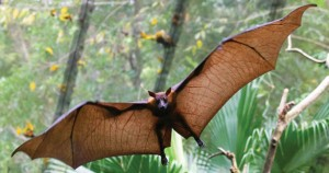 Lyle's Flying Fox