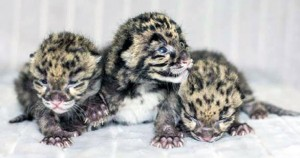 Three Clouded Leopards