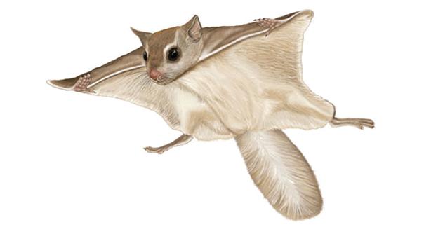 Cute flying squirrels - photo#28