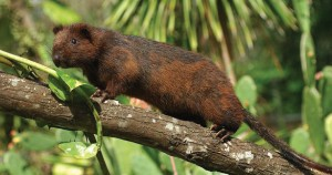 Neill's Long-tailed Giant Rat