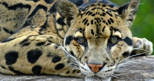 Clouded Leopard of Borneo