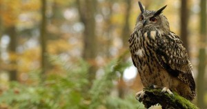 Fish Owl True Owl