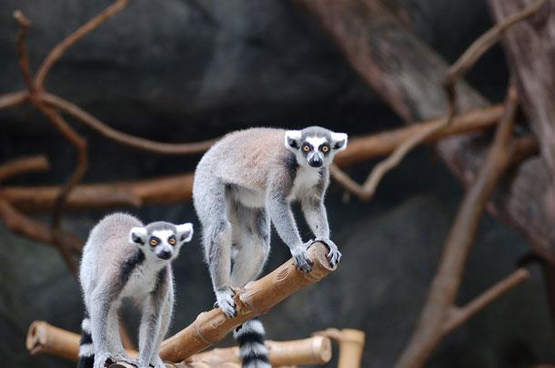 Lemur Land