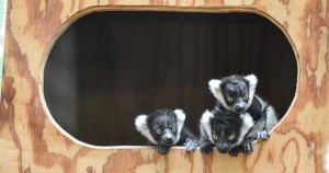 4 new Lemurs in Khao kheow Open Zoo