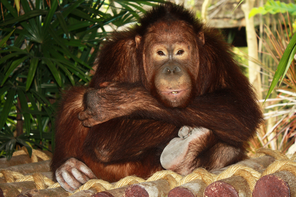 Breakfast with Suriya - Orangutan