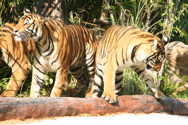 Tiger Show at Khao Kheow Open Zoo