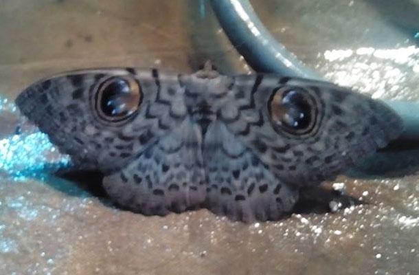 Owl Moth Butterfly