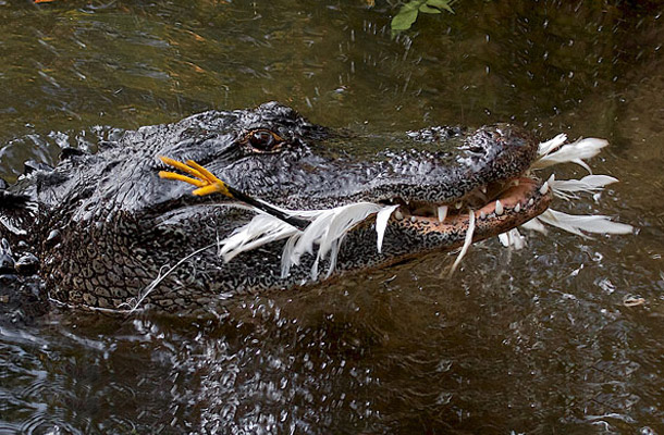 Alligators and crocodiles use tools
