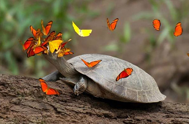 Butterflies feast on turtles tears