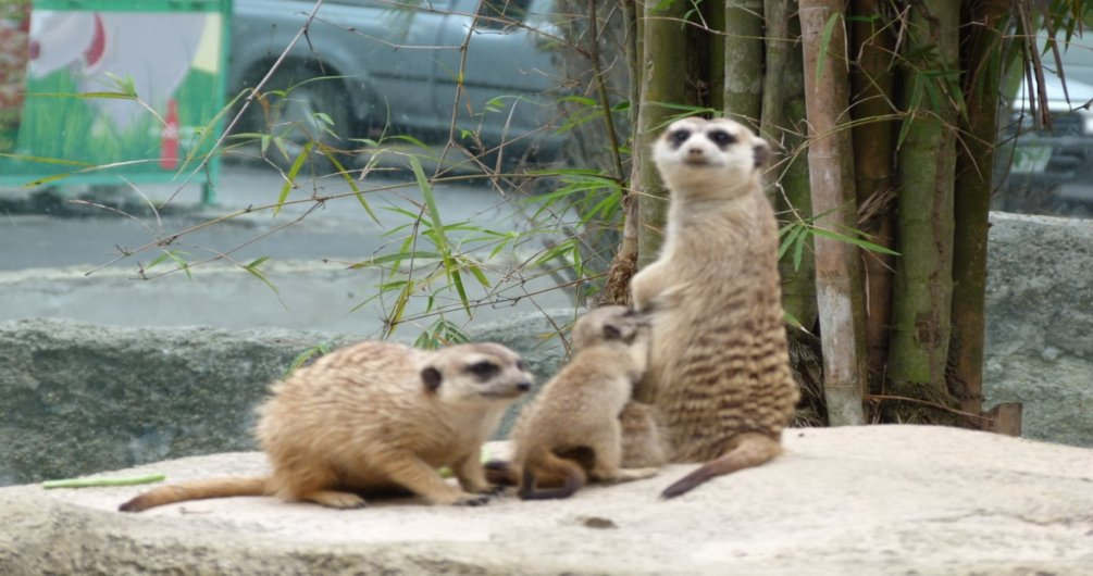 Four Newborn Meerkats